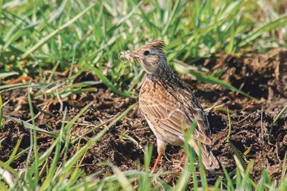 Region geht neue Wege im Feldvogelschutz