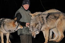 Mit ein wenig Glück Auge in Auge mit den Wölfen