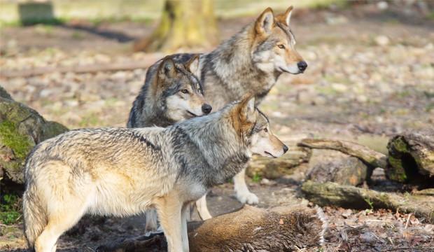 Volles Programm mit Wölfen, Eulen und Waschbären