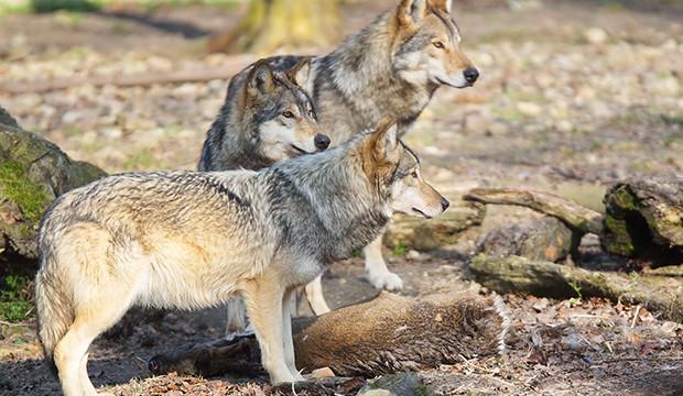 Wolfsabend im Wisentgehege für einen guten Zweck