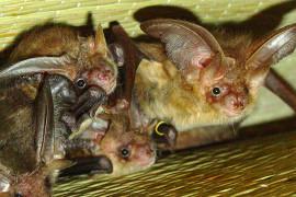 Interessante Einblicke in das Familienleben der Fledermäuse