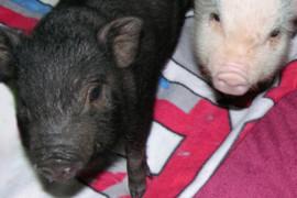 Rüssel-Alarm: In Baschelino sind die Mini-Schweine los!