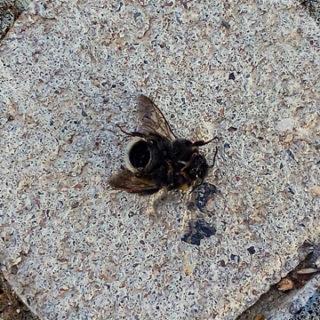 Hummelsterben: Auffällig viele tote Hummeln an der Einsteinstraße