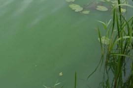 Blaualgen: Mittlerweile alle Ricklinger Badeteiche betroffen