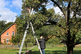 Apfelernte auf Hof Möhr