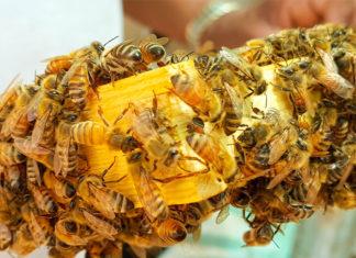 Bienen in Gefahr: In der Region Hannover wurde die Amerikanische Faulbrut festgestellt. Foto: David Mohanna