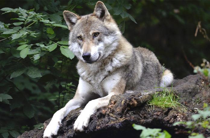 Wolf in Rodewald