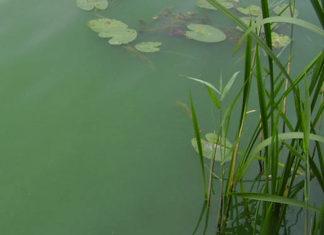 Blaualgen sehen eher grün als blau aus: Am Strand Weiße Düne in Mardorf hat die Region jetzt ein Badeverbot verhängt. Eine Warnung gilt auch für die Badeinsel des Steinhuder Meeres. Foto: Region Hannover