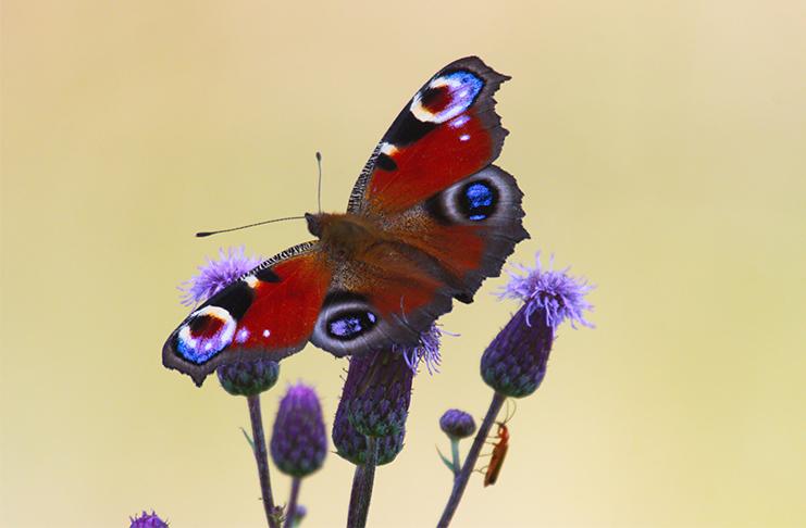 Wunderschön: Dieser Schmetterling zeigt seine ganze Farbenpracht.