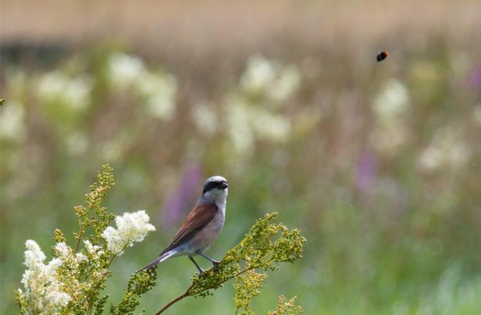 Fest im Blick: Ein Neuntöter beobachtet ein Fluginsekt. Am Insektentag im Wisentgehege Springe gibt es viele Infos zum Thema Insekten.