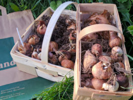 Die Zwiebel steht im Mittelpunkt der Zwiebel- und Staudenwoche auf der Hofanlage der Lebenshilfe in Holtensen.