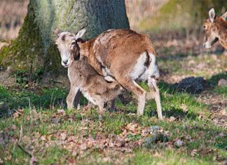 Die Muffelschafe im Wisentgehege Springe haben Nachwuchs bekommen. Foto: Wisentgehege / Thomas Hennig
