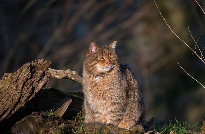Wildkatze Wisentgehege Springe